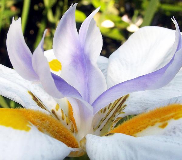 Dehner Wasserschwertlilie