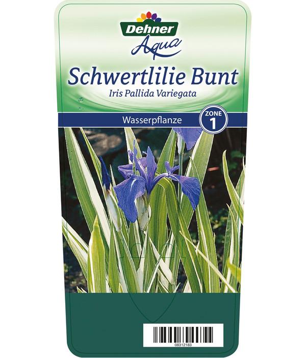 Dehner Weißgestreifte Schwertlilie - Bleiche Schwertlilie 'Variegata'
