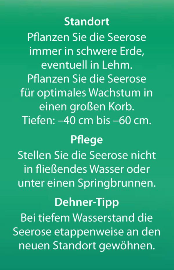 Dehner Zwerg-Seerose