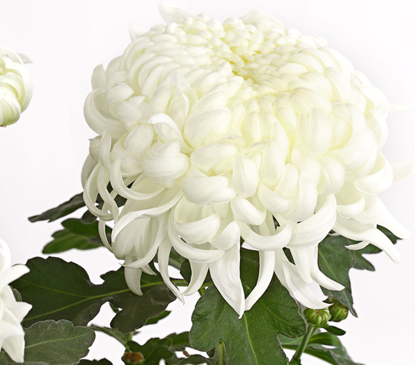 Deko-Chrysantheme, Schale