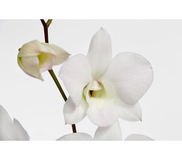 Dendrobium 'Coconut Dream'