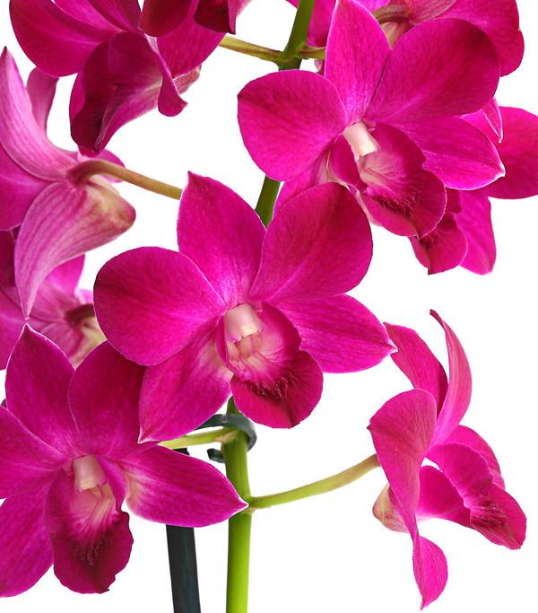 Dendrobium, verschiedene Sorten