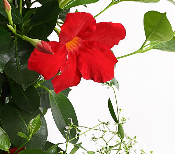 Dipladenie, Stämmchen mit Unterbepflanzung