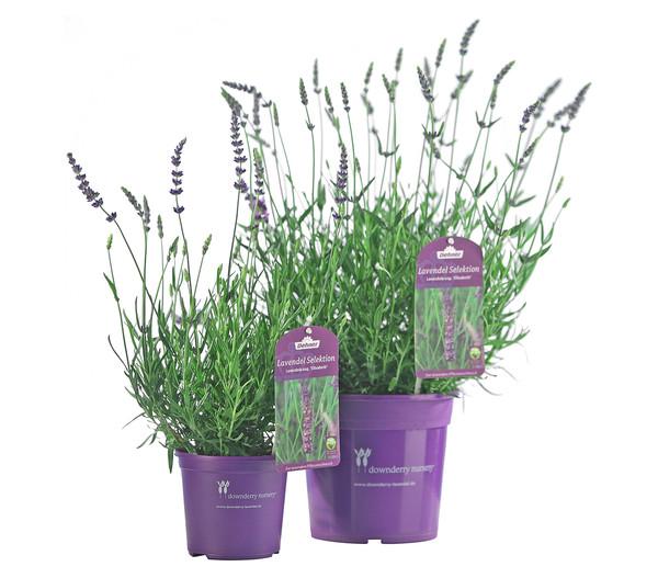 Downderry lavendel 39 elizabeth 39 dehner - Duftende gartenpflanze ...