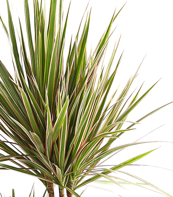 Drachenbaum, Bicolor