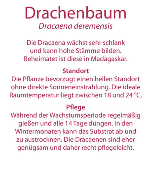 drachenbaum 39 dorado 39 dehner. Black Bedroom Furniture Sets. Home Design Ideas