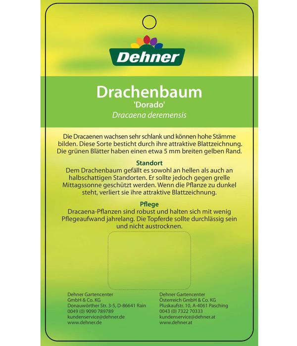 Drachenbaum 'Dorado'