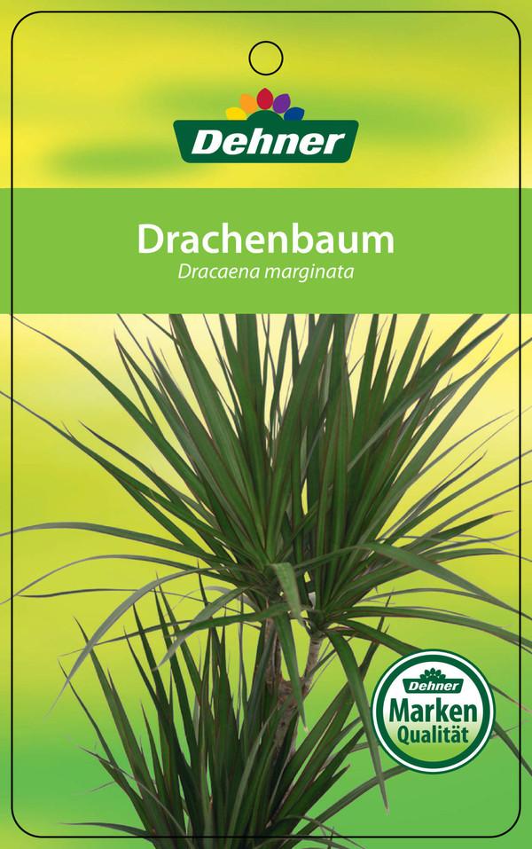 Drachenbaum, Karussell