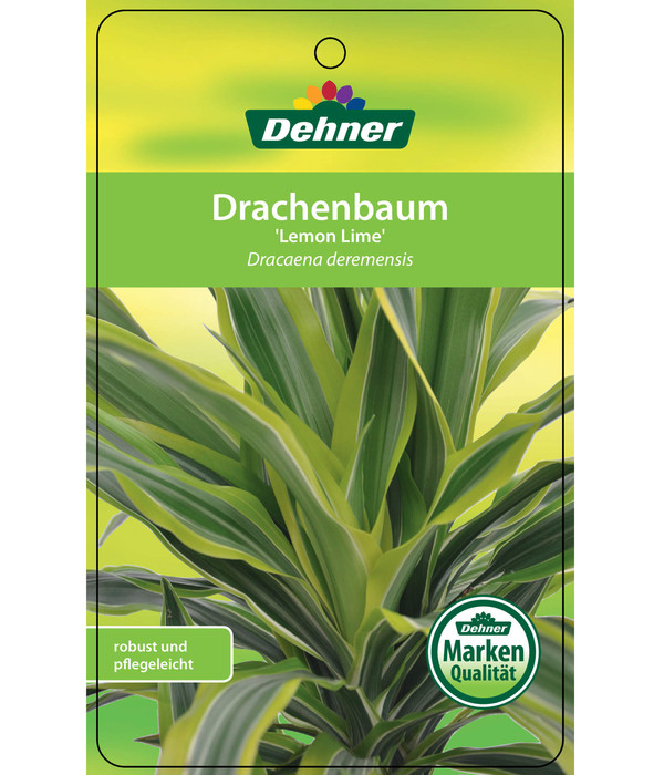 Drachenbaum 'Lemon Lime'