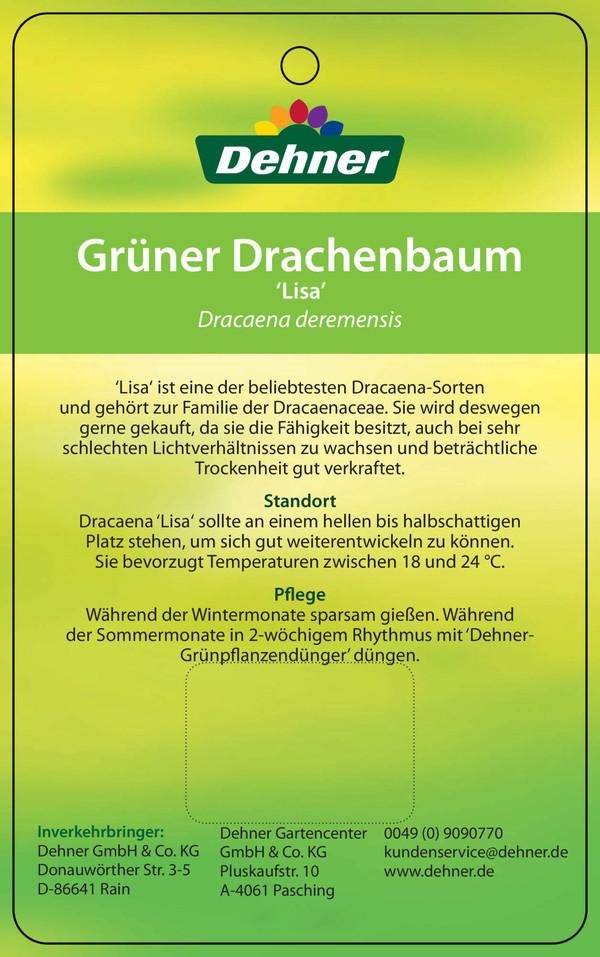 Drachenbaum 'Lisa'