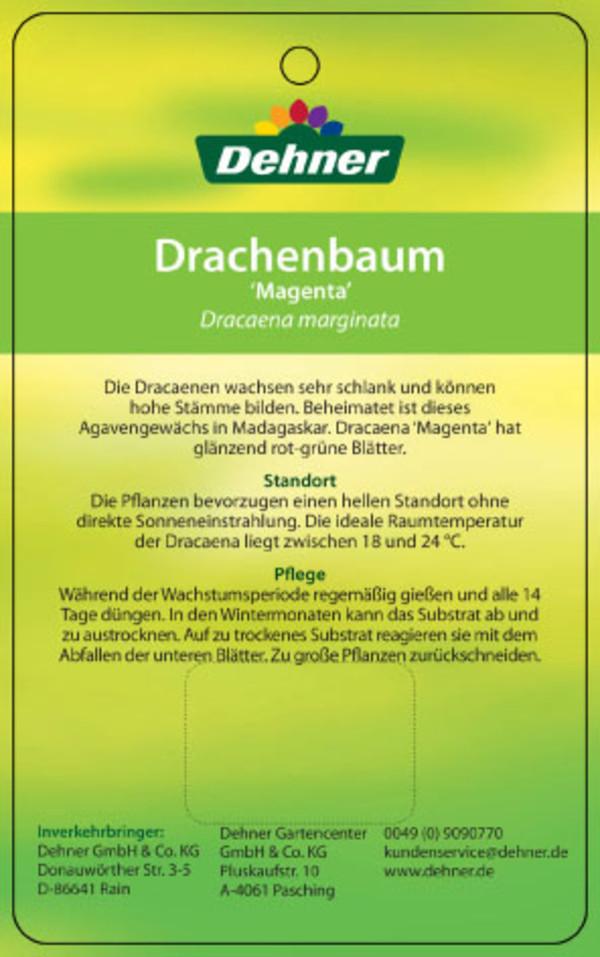 drachenbaum 39 magenta 39 dehner. Black Bedroom Furniture Sets. Home Design Ideas
