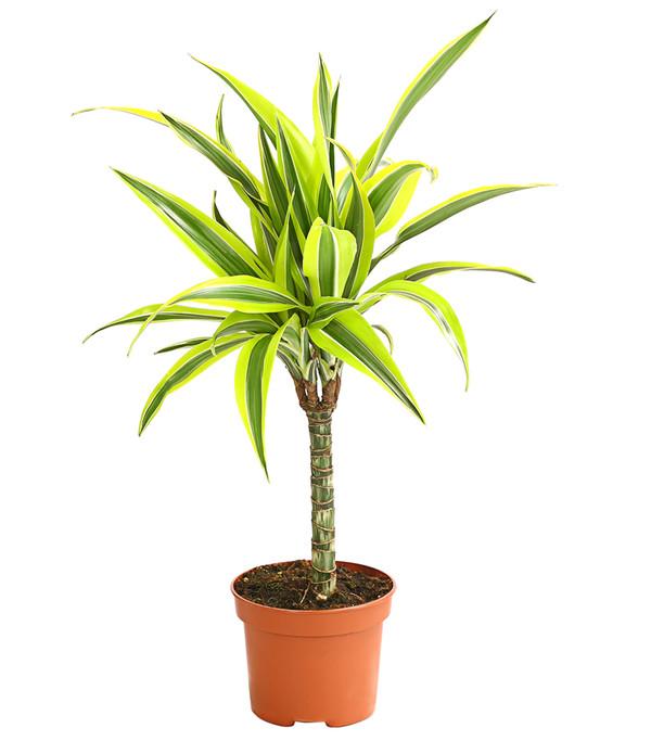 Drachenbaum, verschiedene Sorten