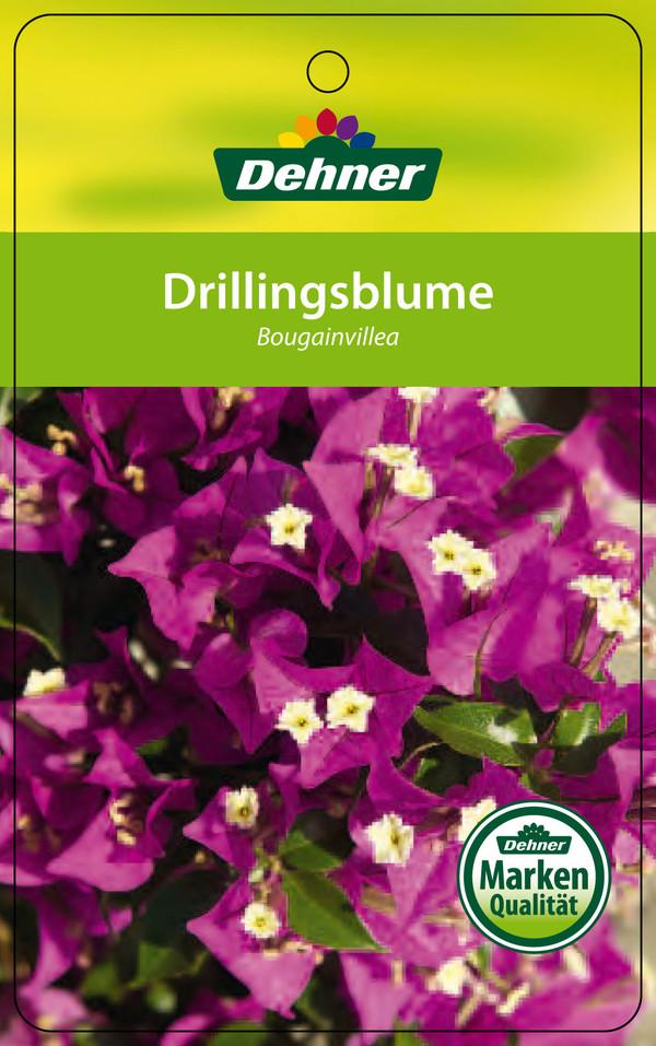 Drillingsblume, Ministamm