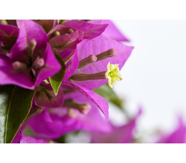 Drillingsblume 'Renate', Spalier