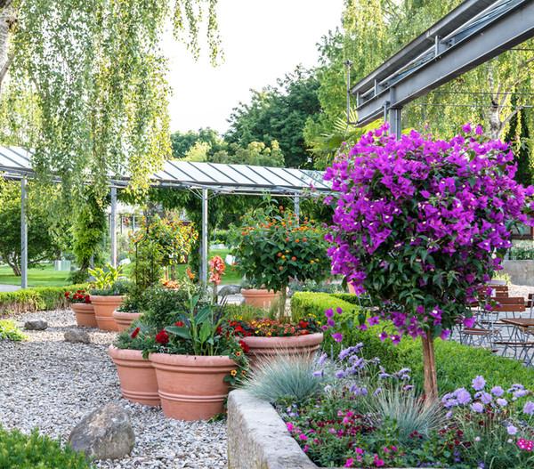 Oleander Standort Garten: Drillingsblume, Stämmchen