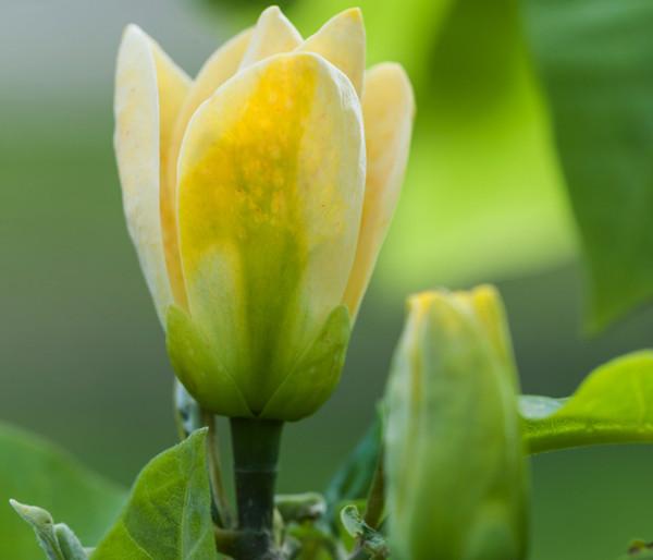 Duft-Magnolie 'Yellow Bird'