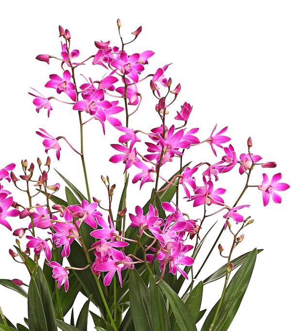 Duft-Traubenorchidee 'Berry'