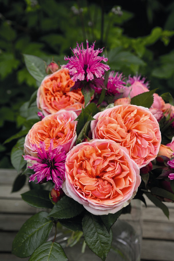 Edelrose 'Chippendale'®