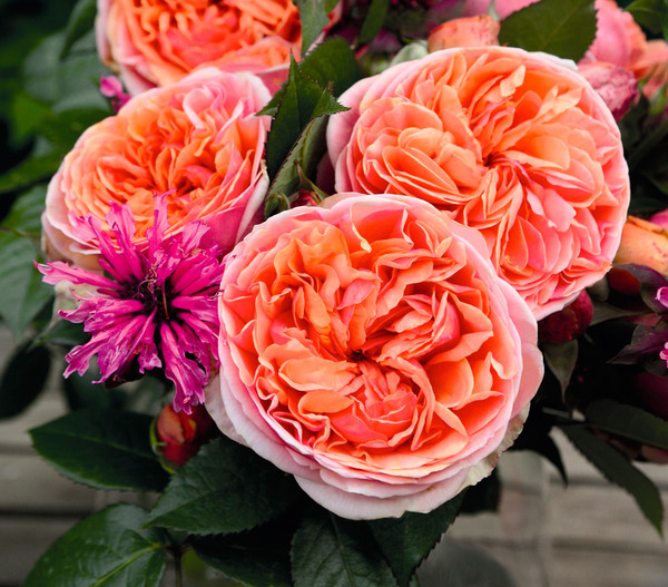 Edelrose 'Chippendale®'
