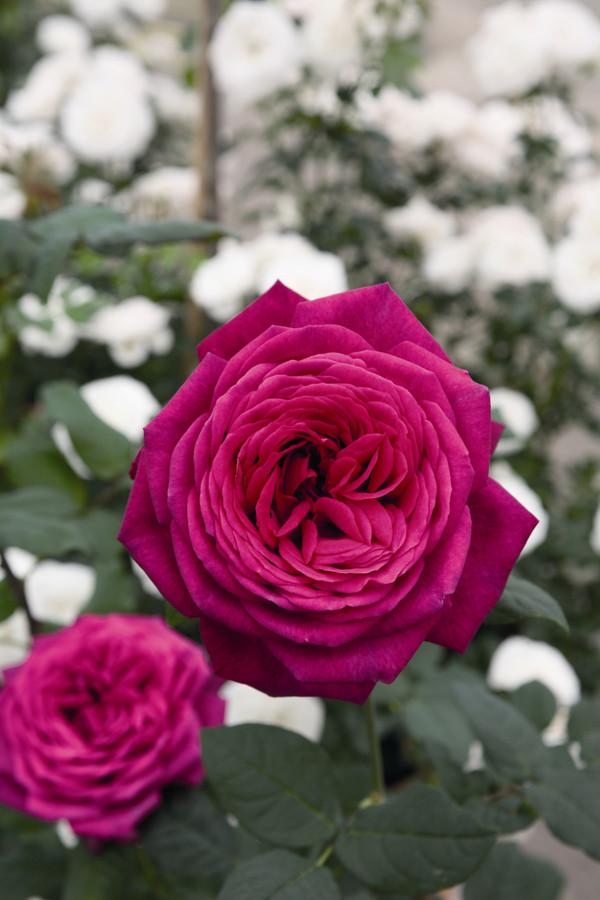 Edelrose 'J.W.v. Goethe Rose®'