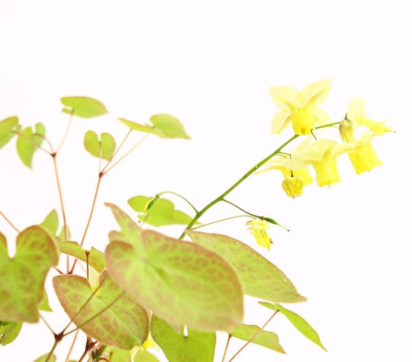 Elfenblume 'Sulphureum'