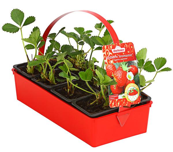 Erdbeere 'Aromastar'