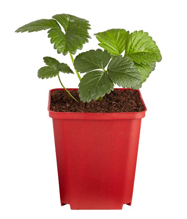 Erdbeere 'Hummi® Herzle'