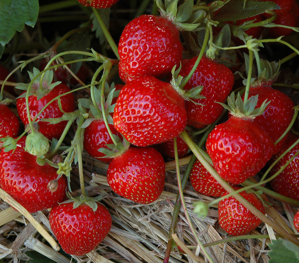Erdbeere 'HUMMI® Sengana' Selection, 8er Schale