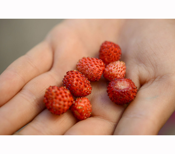 Erdbeere Hummi® Waldfee