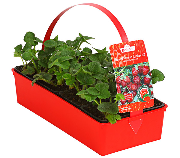 Erdbeere 'Hummi®-Aroma', 8er Schale