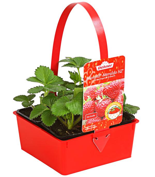 Erdbeere 'HUMMI®-Meraldo'