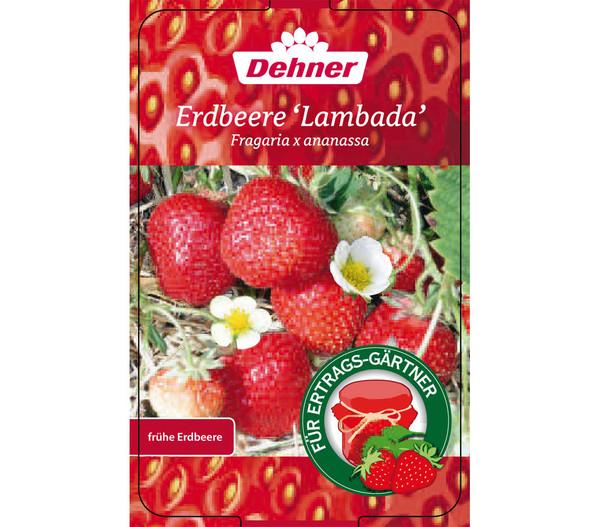 Erdbeere 'Lambada', 8er Schale