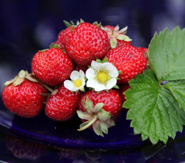Erdbeere 'Mieze Schindler'
