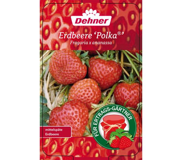 Erdbeere 'Polka', 8er Schale