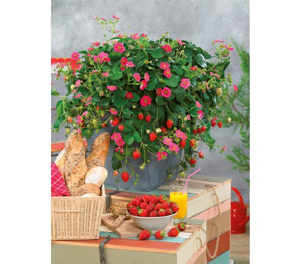 Erdbeere 'Toscana'
