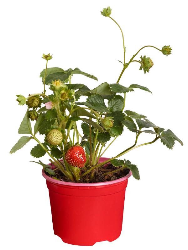 Erdbeere 'Viva Rosa', 4er Tray
