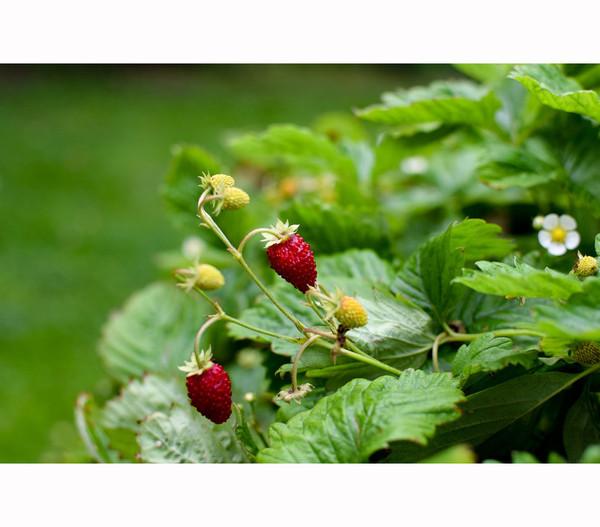 Erdbeere 'Waldkönigin'