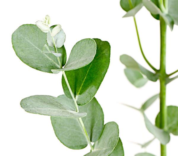 Eukalyptus 'Azura' | Dehner