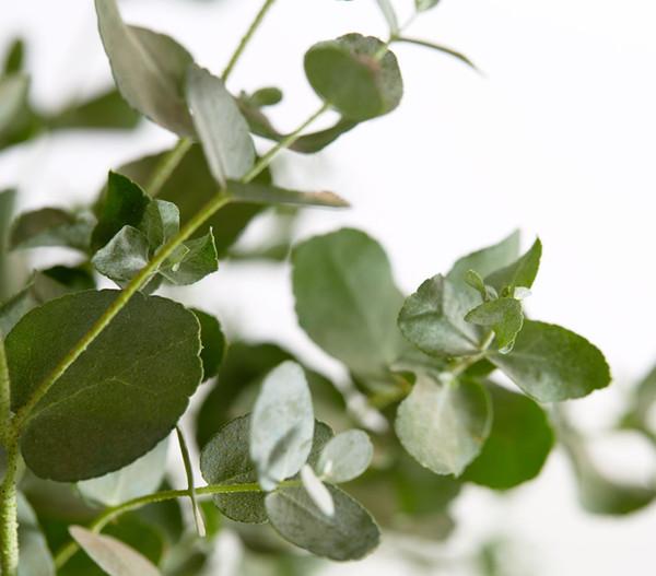 Eukalyptus, Busch