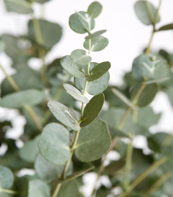 eukalyptus pflanze kaufen eukalyptus pflanze kaufen. Black Bedroom Furniture Sets. Home Design Ideas