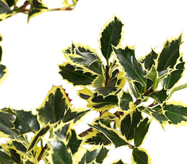Europäische Stechpalme 'Argentea Marginata'