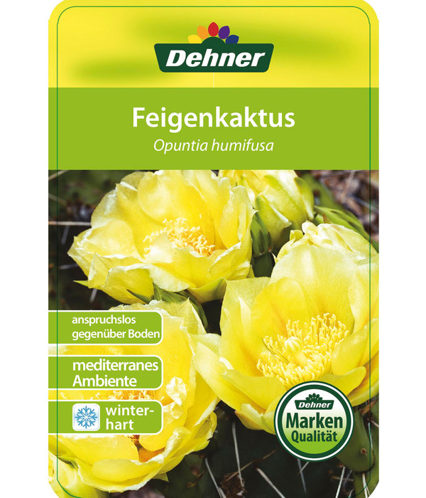 Feigenkaktus - Opuntia humifusa