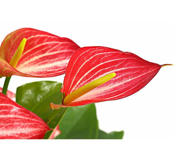 Flamingoblume - Anthurie 'Livium'