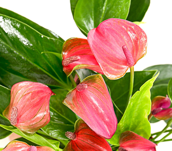 Flamingoblume 'Lila Forino'