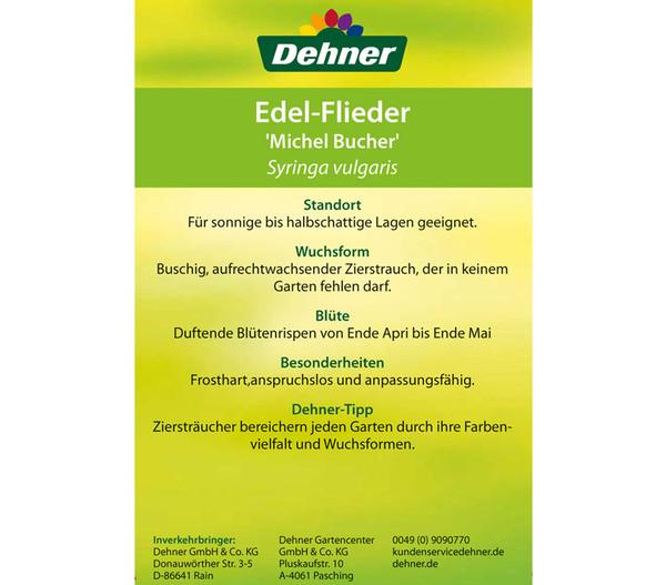 Flieder 'Michel Buchner'