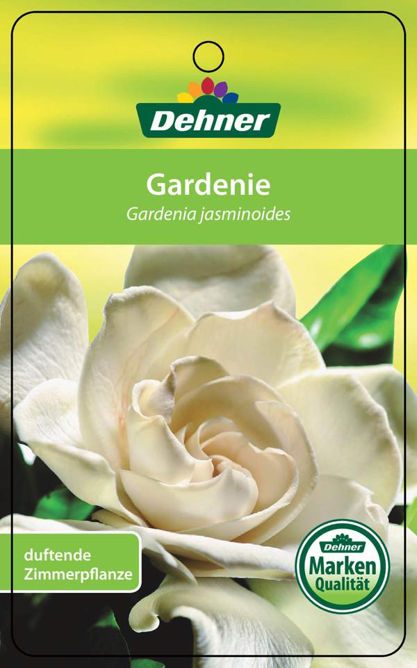Gardenie, creme