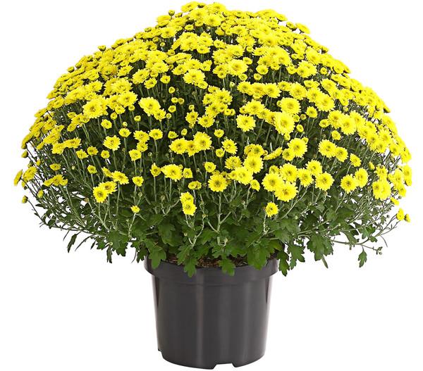 Garten-Chrysantheme, Sortenmix