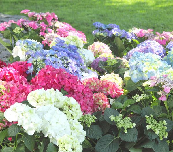 Garten-Hortensie - Bauern-Hortensie