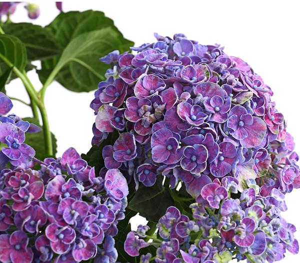 Garten-Hortensie 'Curly Wurly'