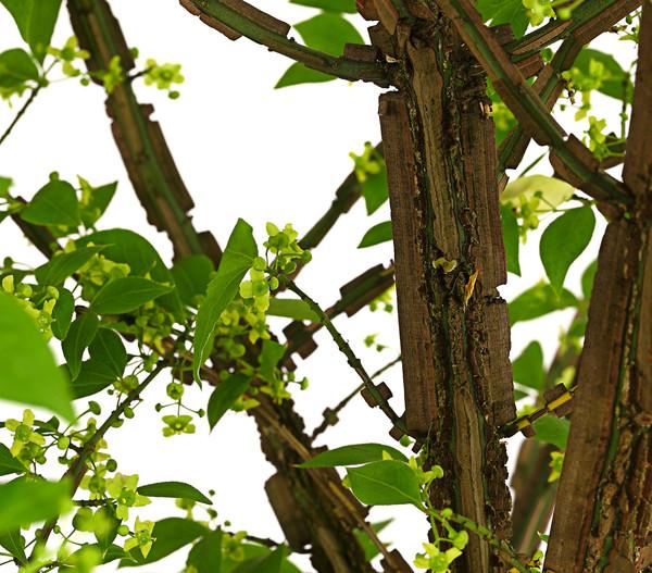 Geflügeltes Pfaffenhütchen - Korkspindel - Spindelstrauch